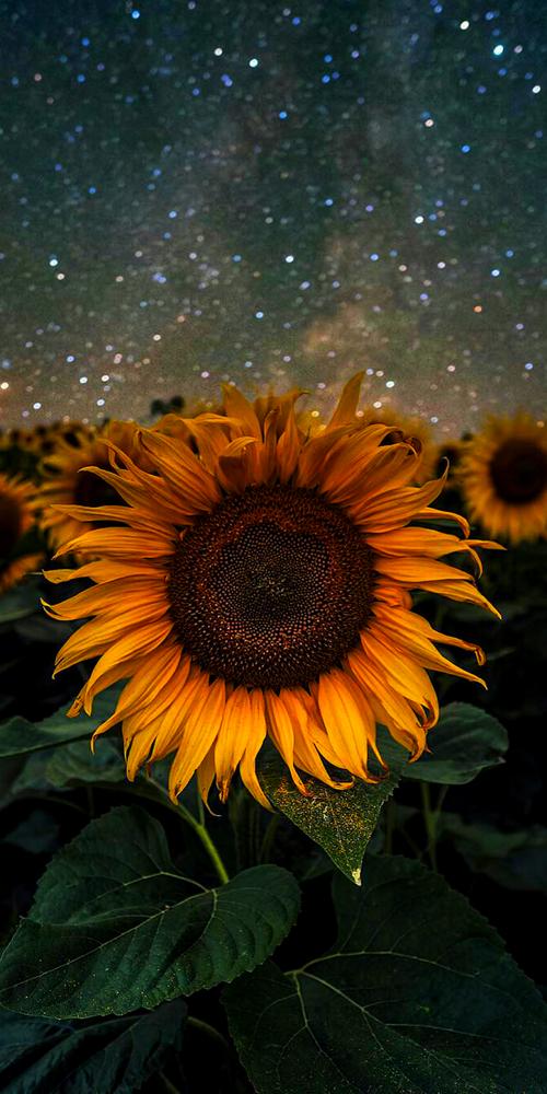 Iphone Wallpaper Sunflower Iphone Wallpaper Sunflower Wallpaper Sunflower Pictures