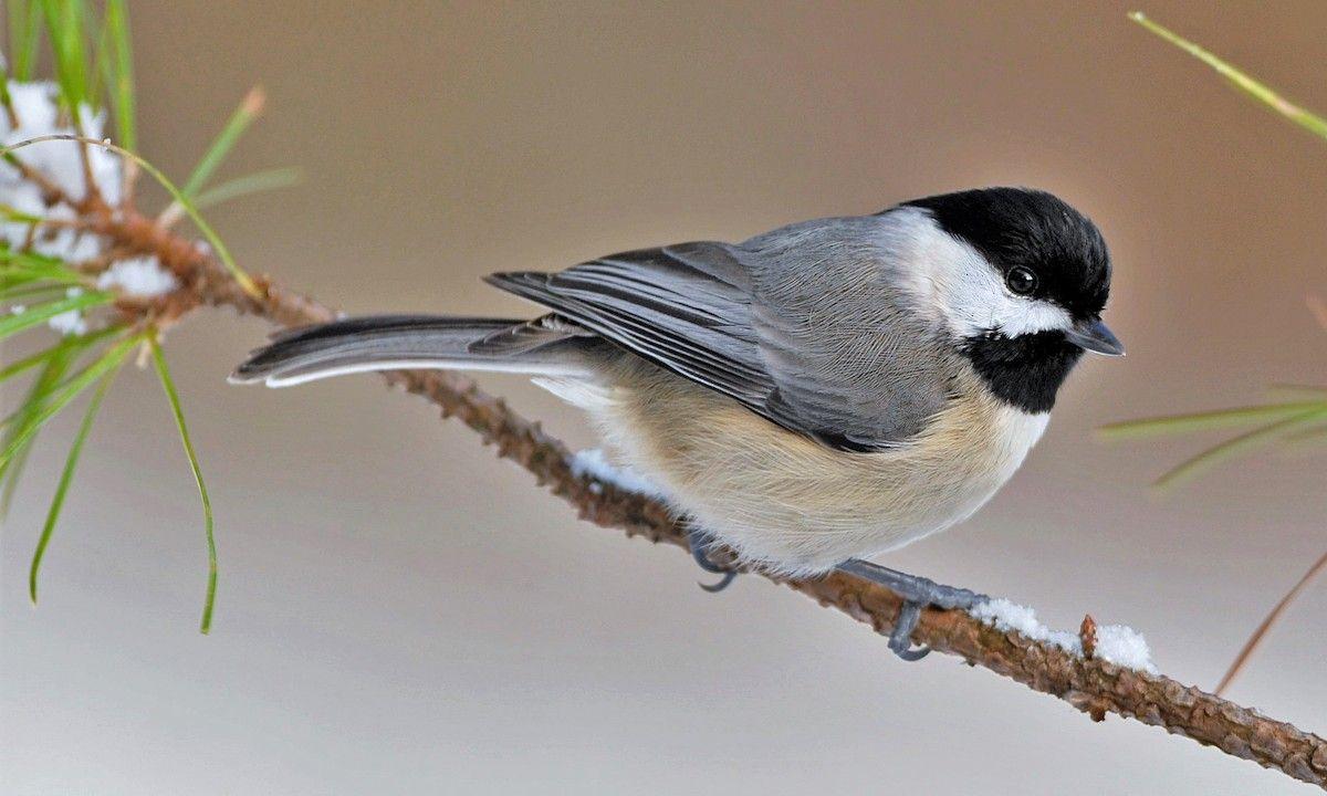 Carolina Chickadee - Introduction | Birds of North America ...