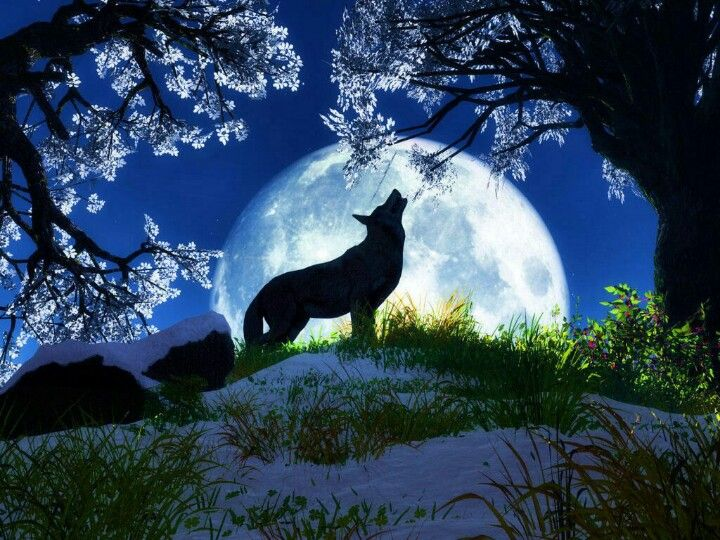 Under The Cherry Blossom Tree Wolf Wallpaper Wolf Pictures Wolf Howling At Moon