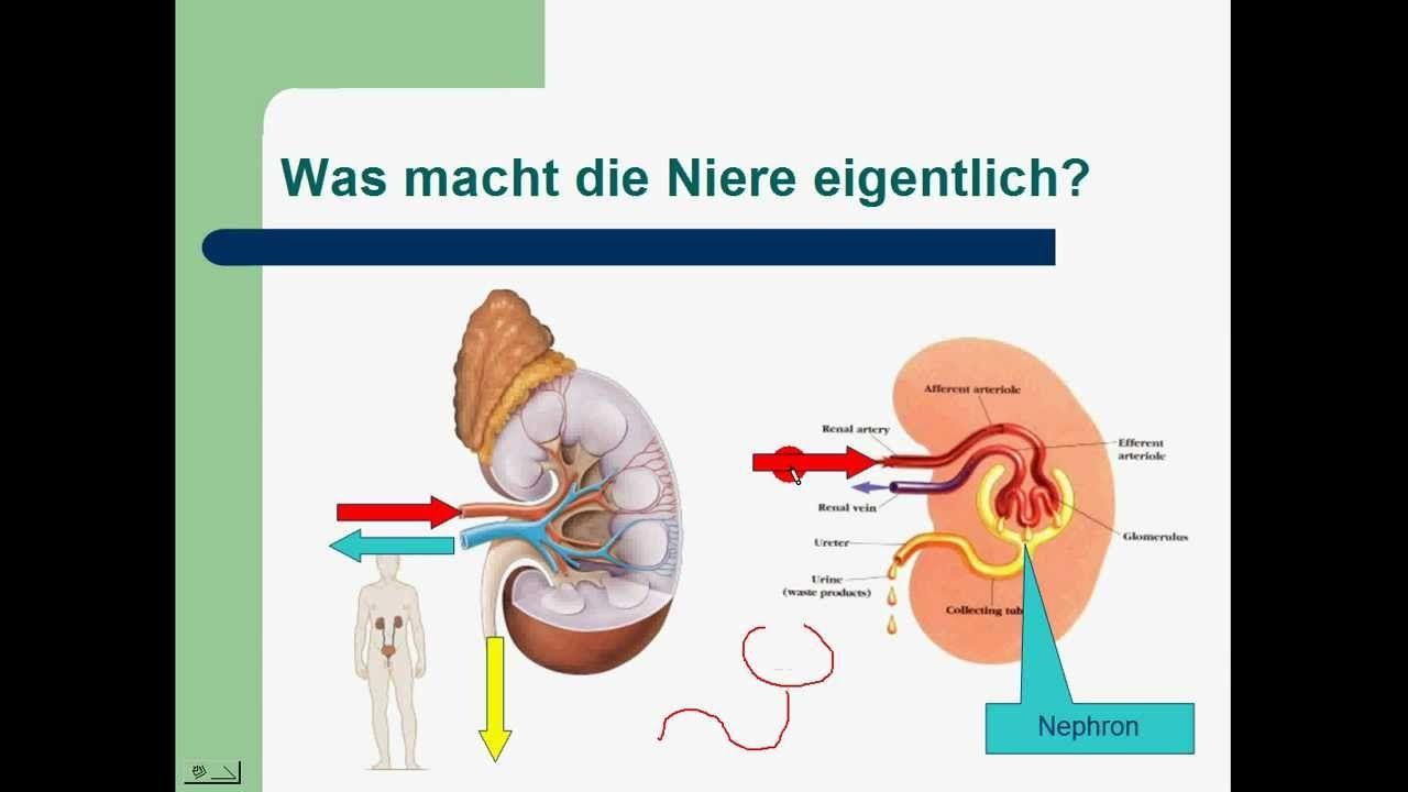 Ziemlich Harnsystemen Zeitgenössisch - Anatomie Und Physiologie ...