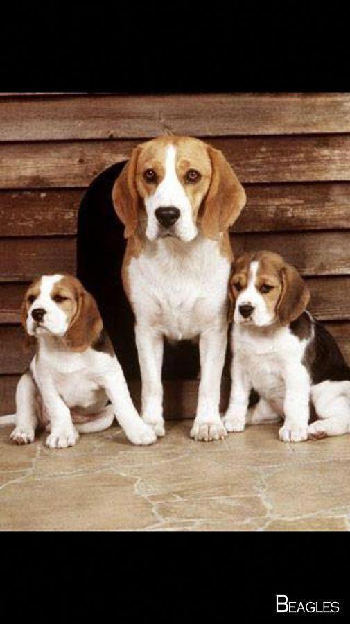 Blue Tick Beagle Beagle Dogs Beagle Puppy Beagle
