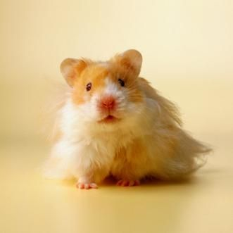 Teddy Bear Hamsters Are A Species Of Syrian Hamsters Bear Hamster Hamster Care Funny Hamsters
