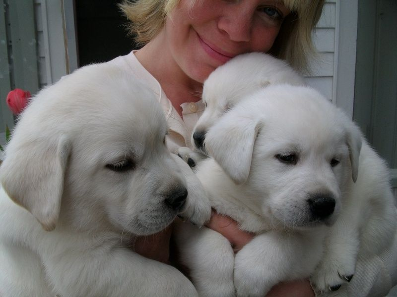Minnesota White English Labrador Retriever Puppies Snow White