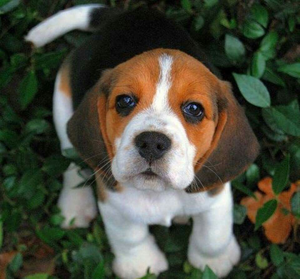 Can T Help But Love That Little Face Beagles Cute