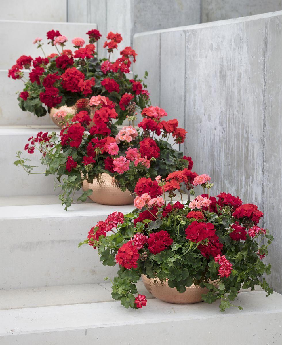 Idee Per Vasi Da Fiori geranium summer planters along staircase #containergardening