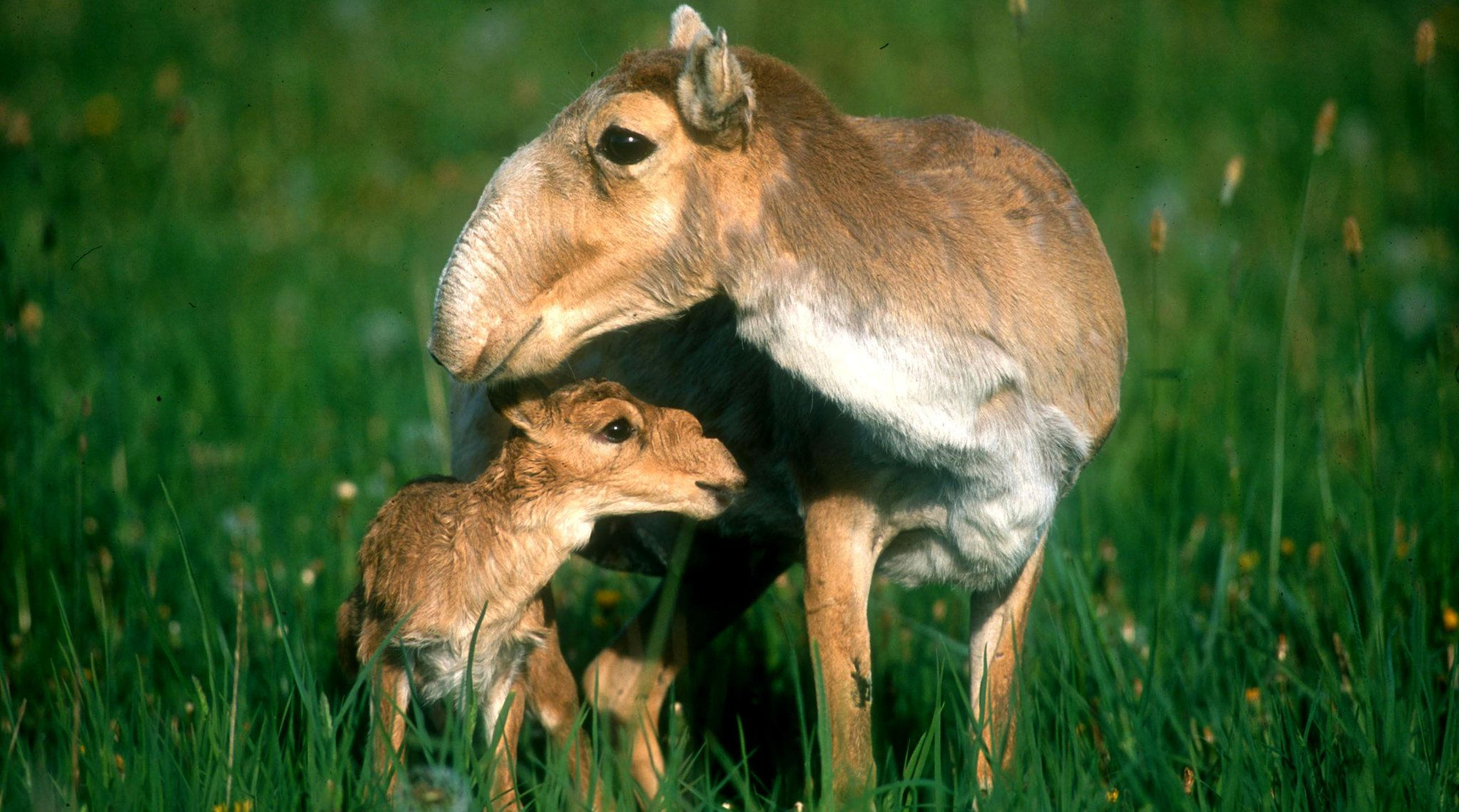 Saiga Population Starts To Bebound After Mysterious Epidemic  The