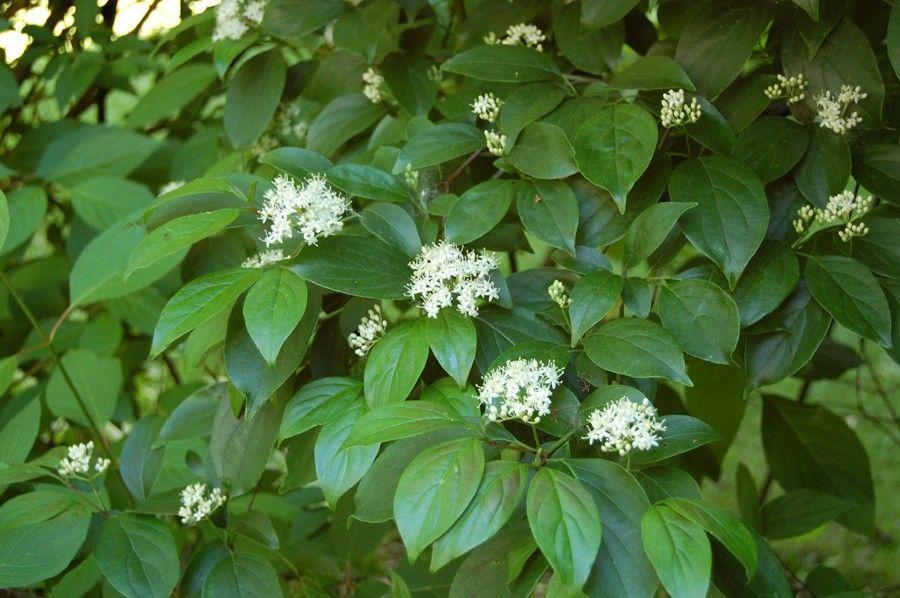 Cornus racemosa (Gray Dogwood) Dogwood trees, Shrubs, Plants