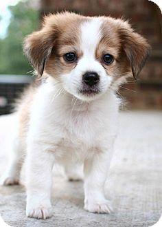 Chihuahua Pomeranian Mix Google Search Pomeranian Chihuahua Mix Pomeranian Mix Chihuahua Mix Puppies