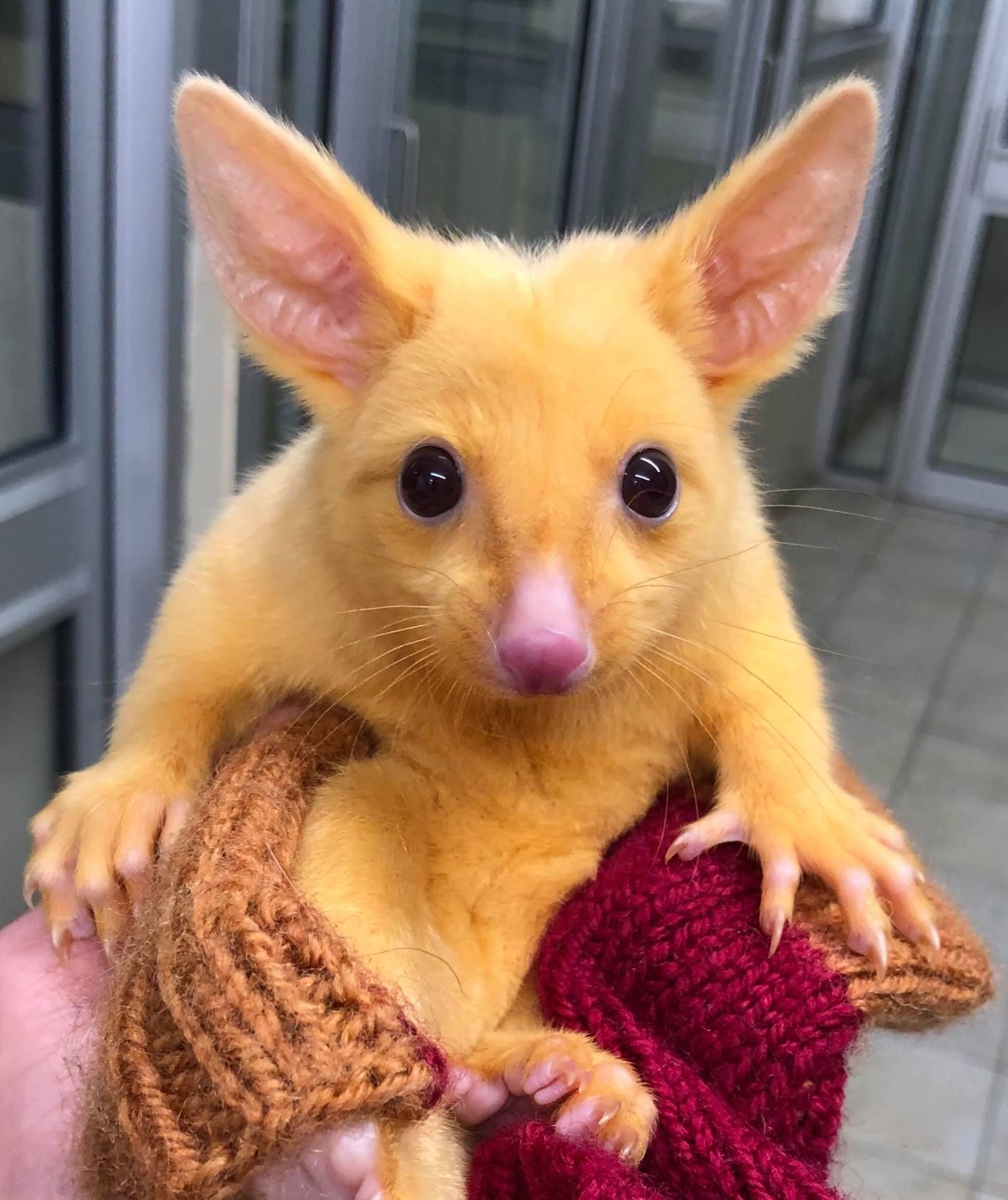 Vet Clinic Rescues A Rare Golden Possum That Looks Like A Real Life Pokemon In 2020 Animals Australian Possum Cute Animals