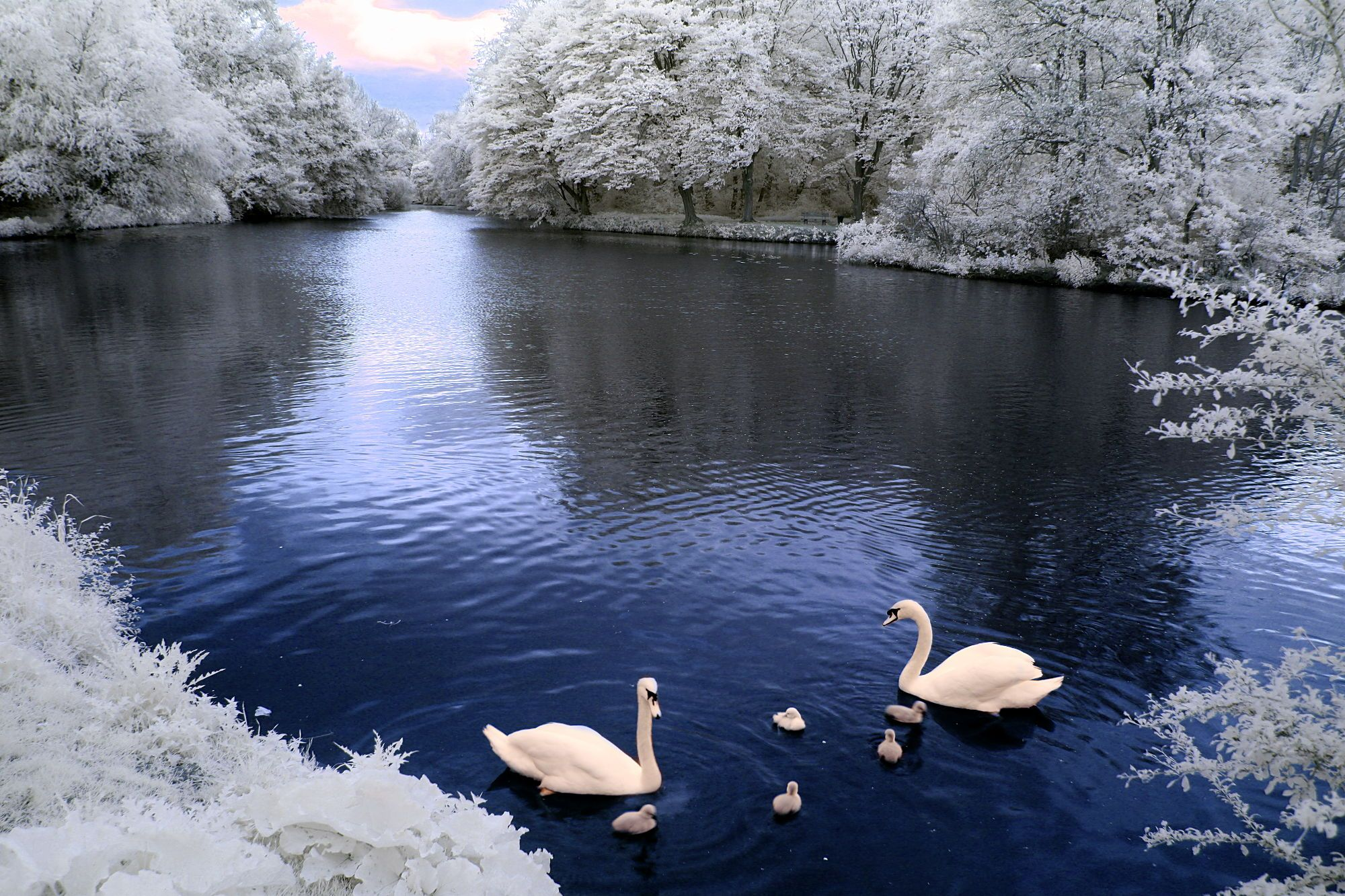 swans on the outskirts of frankfurt, germany - seen in false color infrared. may 11th, 2013.
