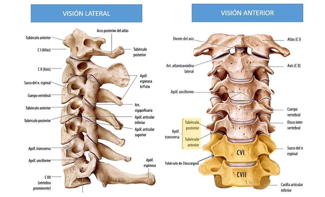 Anatomía de la columna cervical   Dolopedia   YUG,YOGUI,YOGUISMO ...