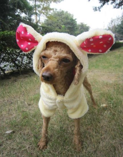 Ubranie York West Pinczerek Shih Tzu Pekinczyk 2206037877 Oficjalne Archiwum Allegro Shih Tzu Doggie Style Dog Clothes