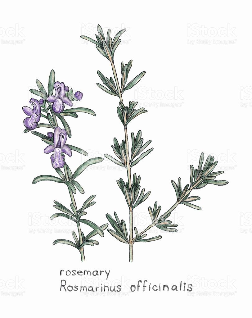 rosemary, rosmarnis officinalis, botanical drawing in colored pencil  royalty-free rosemary rosmarnis officinalis botanical drawing in colored  pencil stock