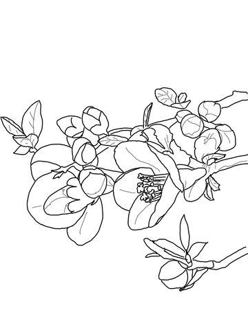 Quince Flower Coloring Page Dibujos Dibujos Para Colorear