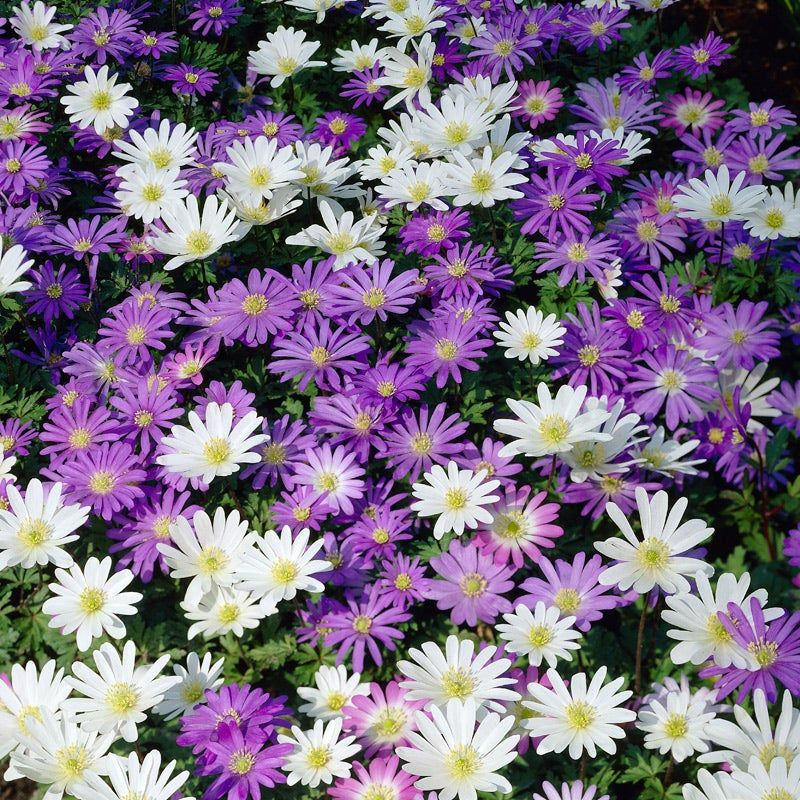 Anemone Blanda Mix With Images Bulb Flowers Spring Flowering Bulbs Spring Plants