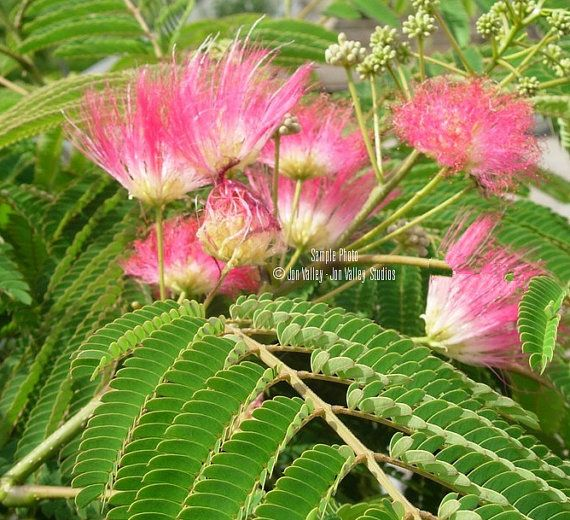 10 Seeds Silk Tree Mimosa Fast Growing Plant Profusion Etsy In 2021 Julibrissin Organic Raised Garden Beds Silk Tree