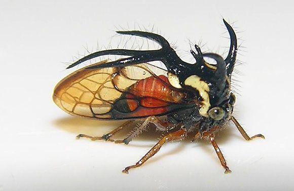 Cyphonia trifida . http://www.enimal.org/formas-y-colores-membranacidos/