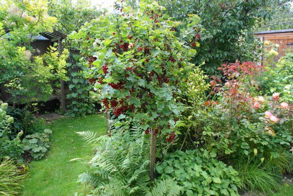 イギリスそよ風もよう バラのセカンドフラッシュ 植物 種類 庭 木 庭