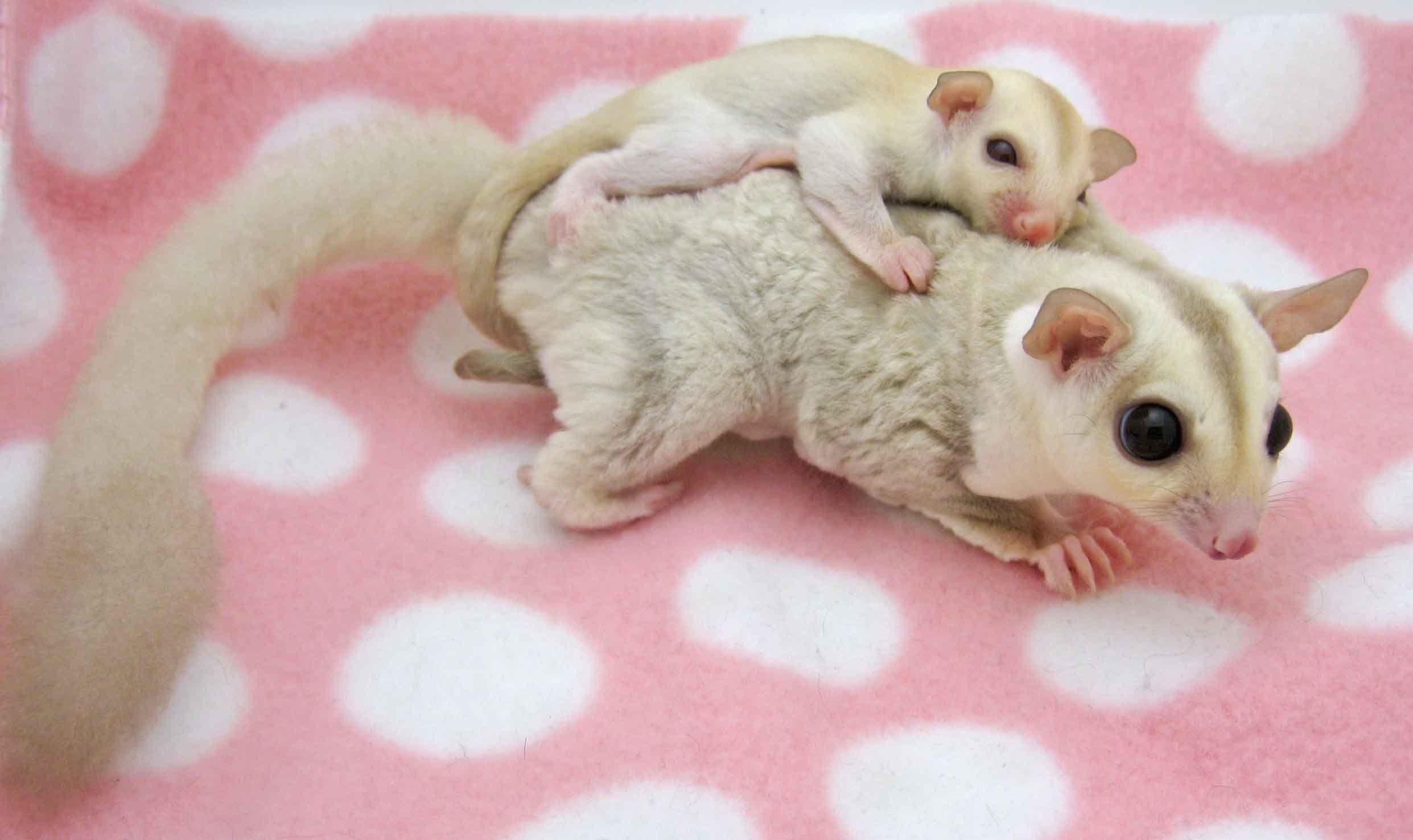 Piggy Back Rides Daphne And Millie Two Cremeino Sugar Gliders Sisters Sugar Glider Baby Sugar Glider Pet Sugar Glider
