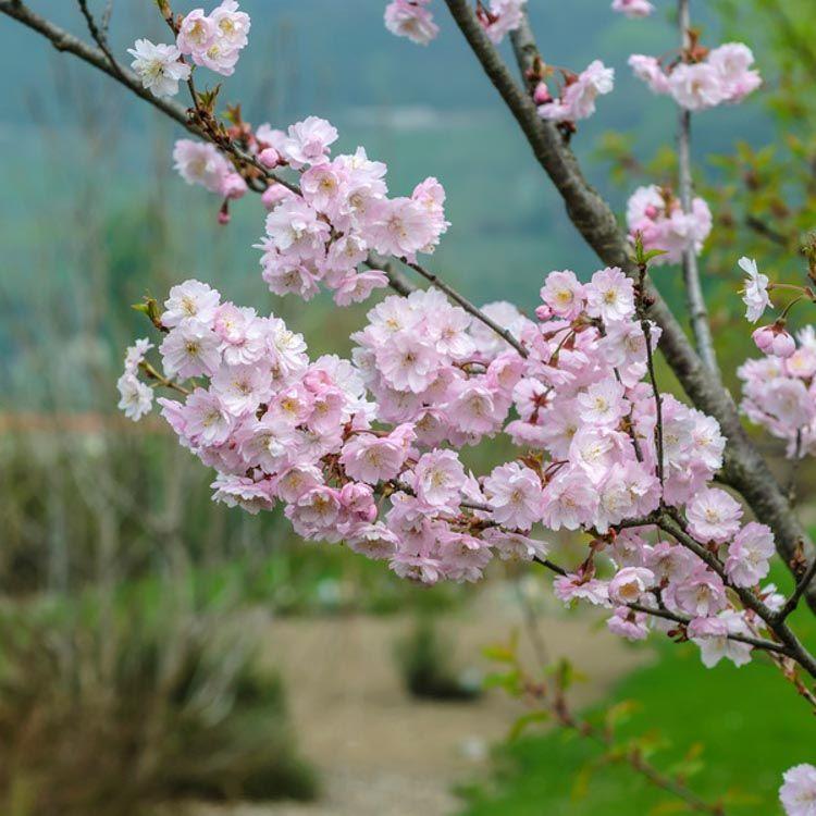 Elegant In All Seasons Prunus Subhirtella Autumnalis Rosea Rosebud Cherry Is A Small Spreadi Pink Flowering Trees Flowering Cherry Tree Ornamental Cherry