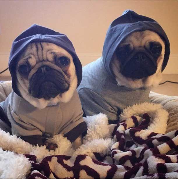 Gallery Dantdm S Pug Life Cute Funny Pics Dantdm Pugs