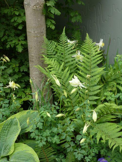 Orliki I Paprocie Beautiful Gardens Shade Plants Shade Garden