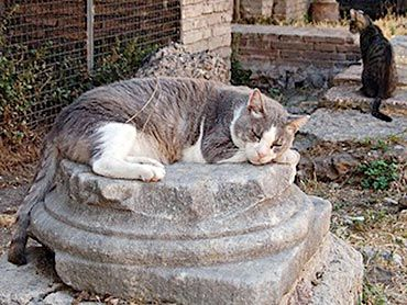 cat lying on the remains of an old Roman column in  Torre Argentina, Rome