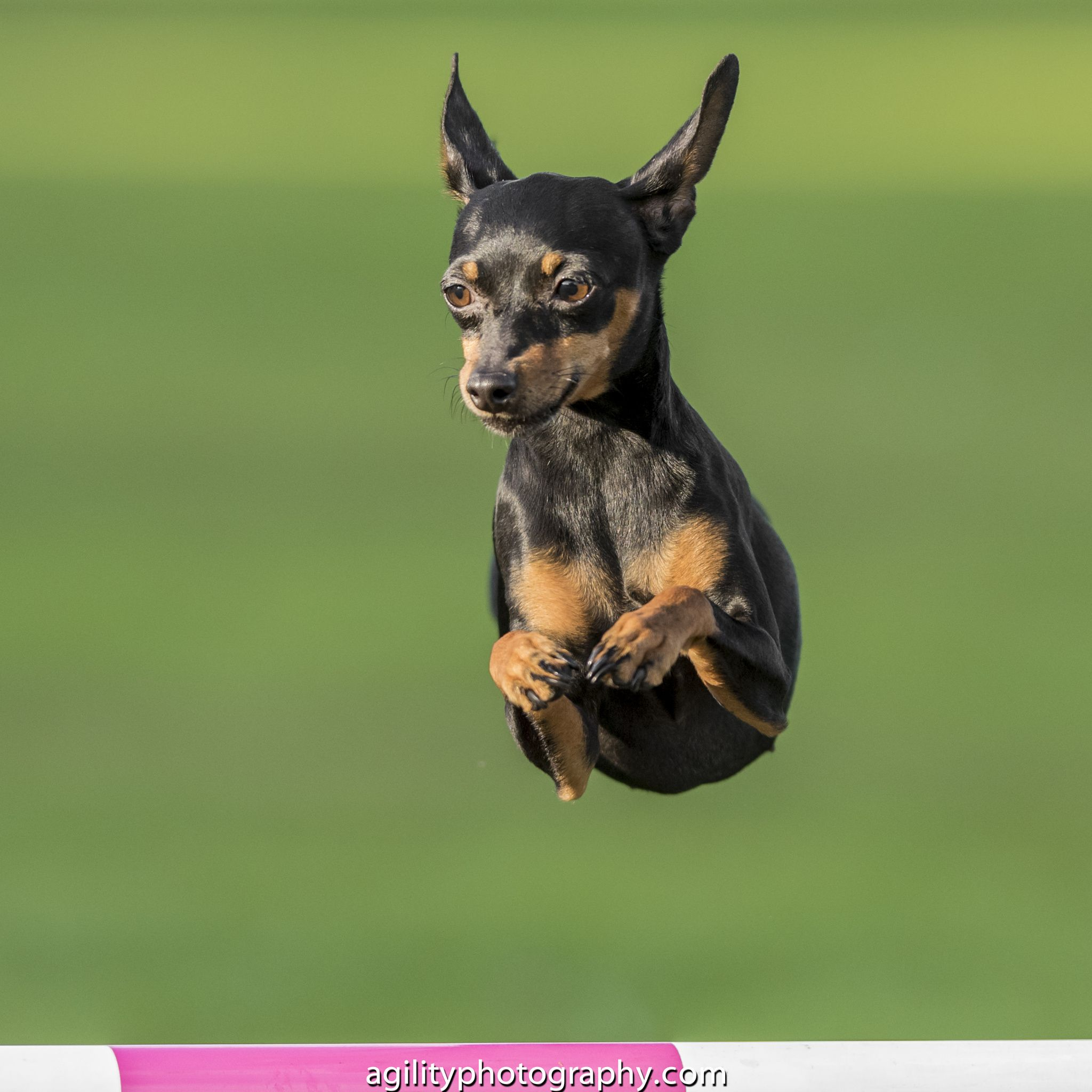 Agility Crufts Singles Final Small Medium And Large Cute