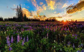 закат, поле, цветы, деревья, пейзаж