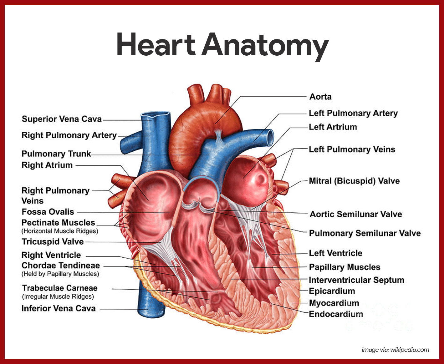 Cardiovascular System Anatomy and Physiology | Heart anatomy, Pa ...