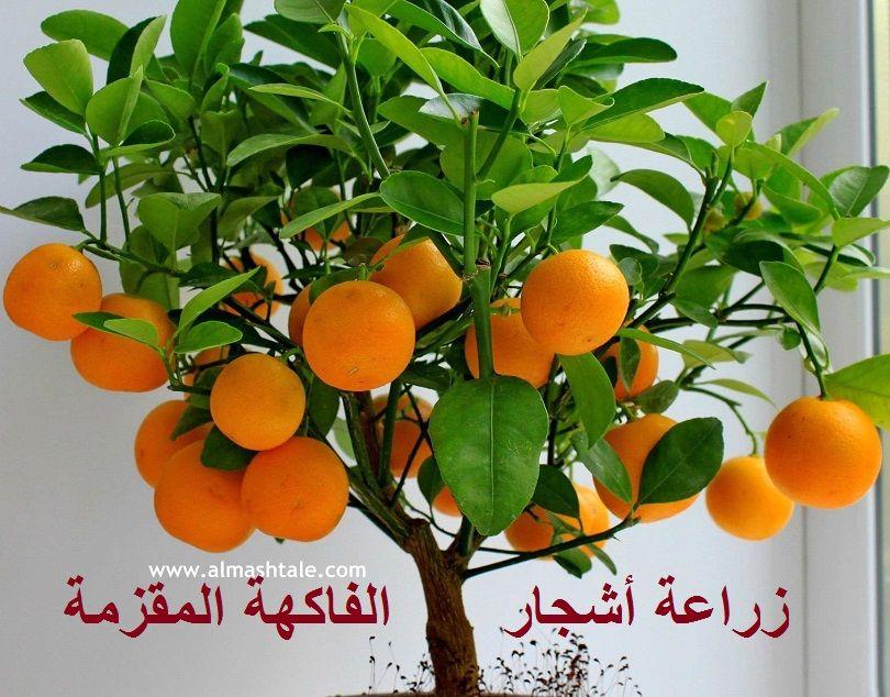 أشجار الفاكهة المقزمة أو القزمية هي أحدث صيحة أو ترند شائع هذه الأيام على الجروبات الزراعية والصفحات المهتمة Fruit Trees For Sale Tree Seeds Dwarf Fruit Trees