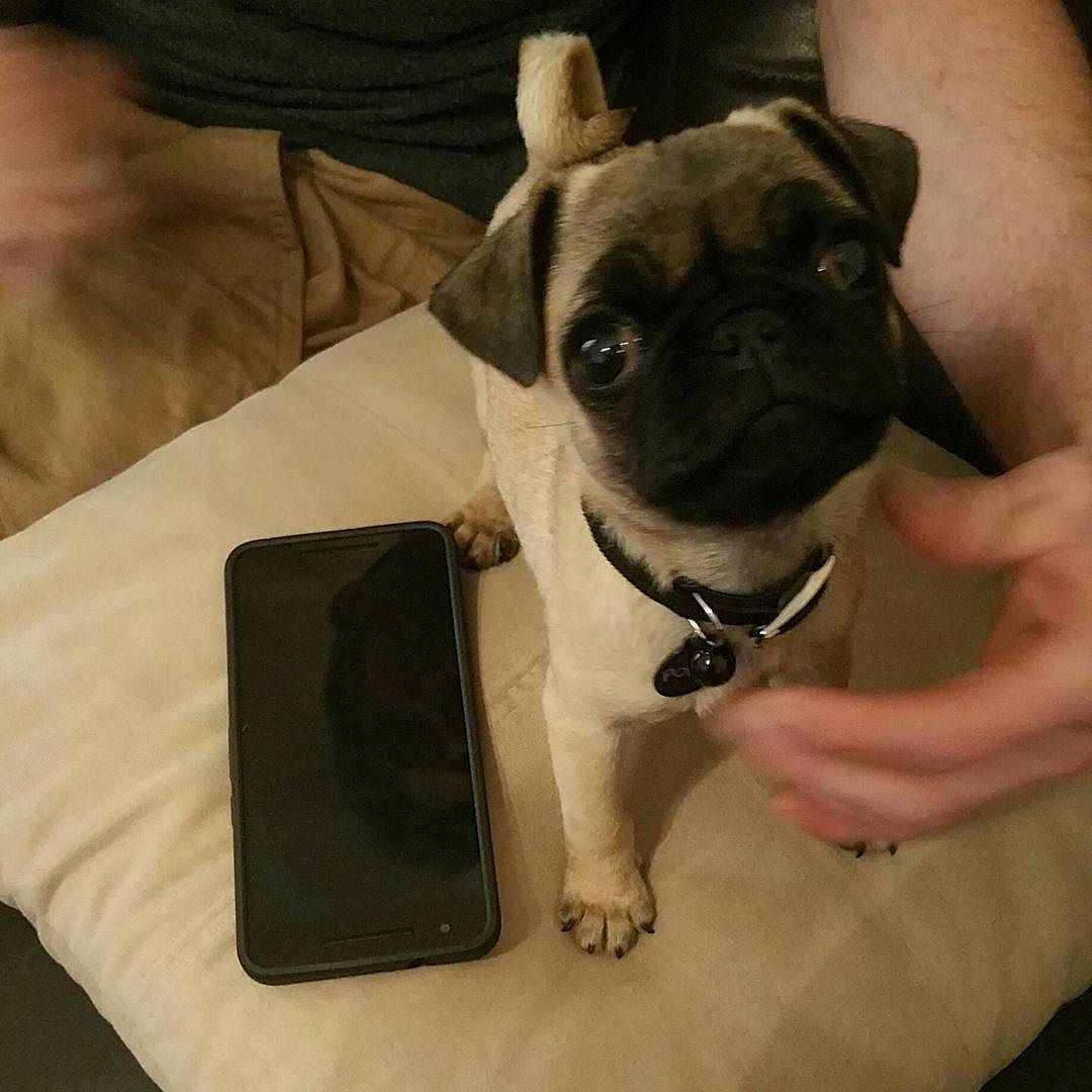 Im A Pocket Size Pug Phone Size Pocket Tiny Small Pug