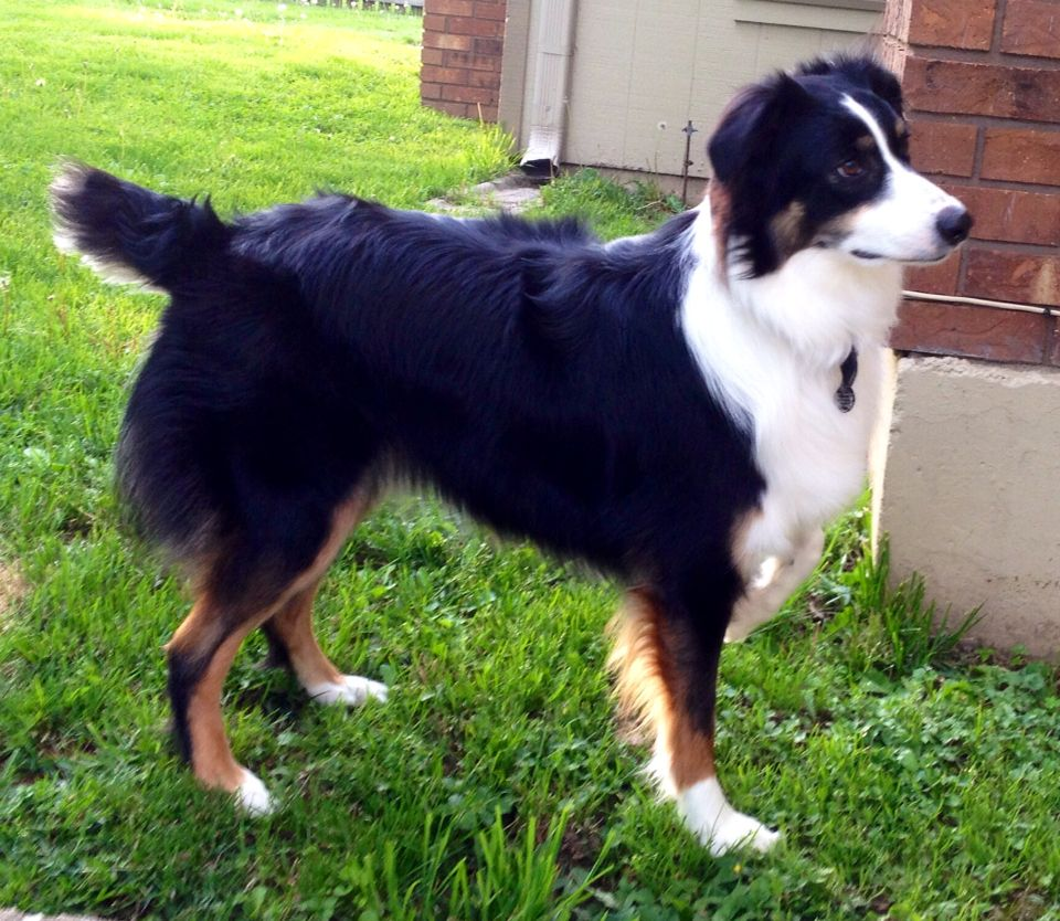 And another one of our Aussies. Fur babies, Animals, Fur
