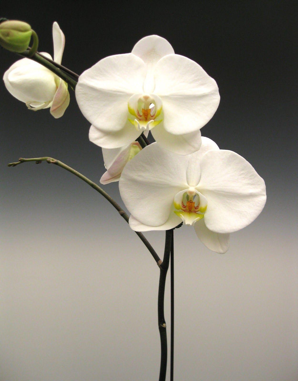 Orchid Plants White Phalaenopsis Flores, Plantas