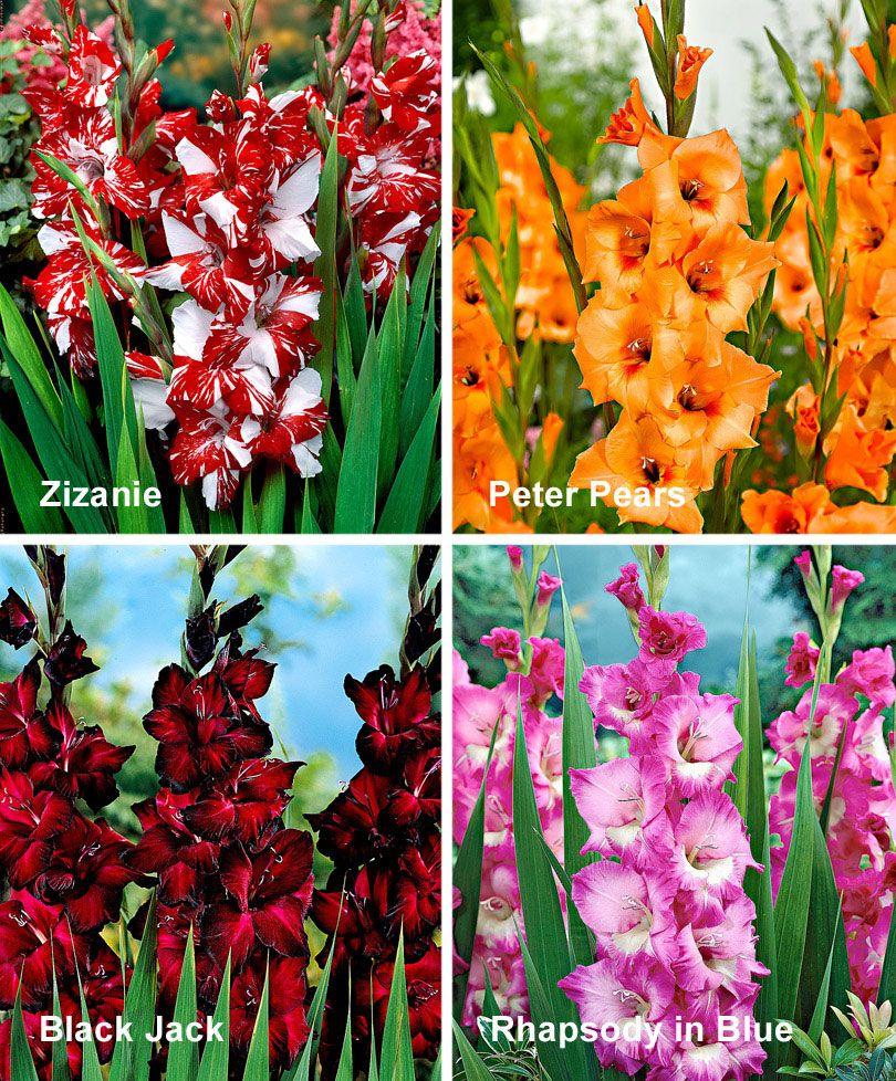 40 Gladioli In 4 Varieties Gladiolus Lily Garden Hollyhocks Flowers