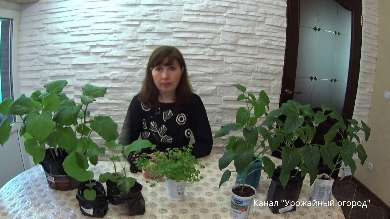 Перекись водорода при поливе цветов