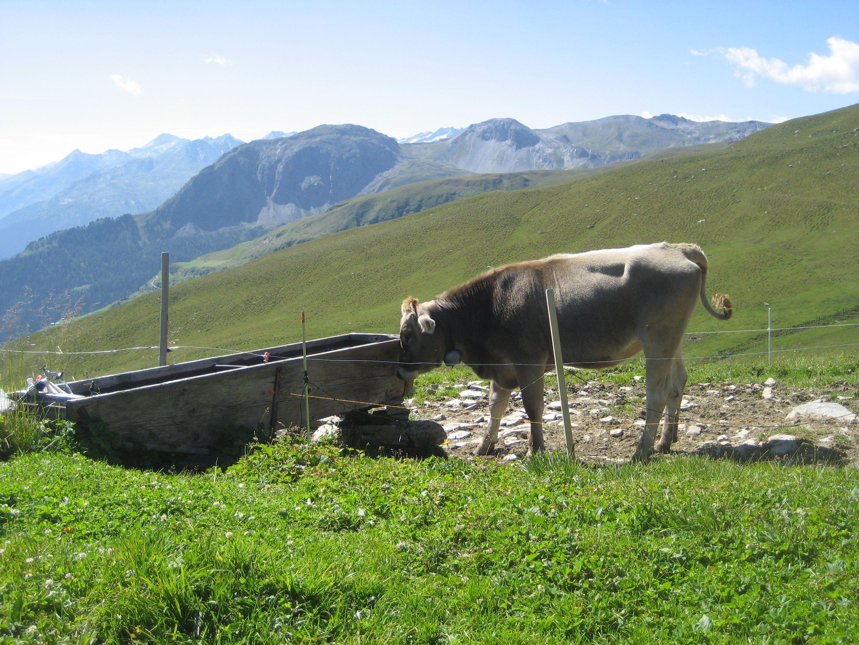 Alp-Leben - glückliche Kühe im Kanton Graubünden