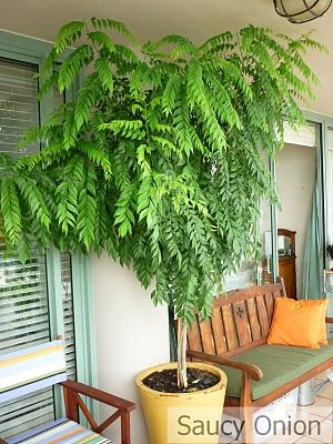 Potted Curry Leaf Tree Semi Shade