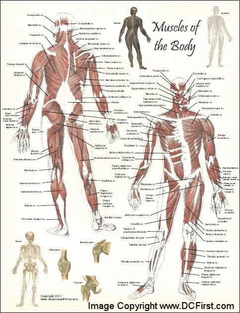 Muscle Anatomy Poster | muscular anatomy | Pinterest | Poster ...