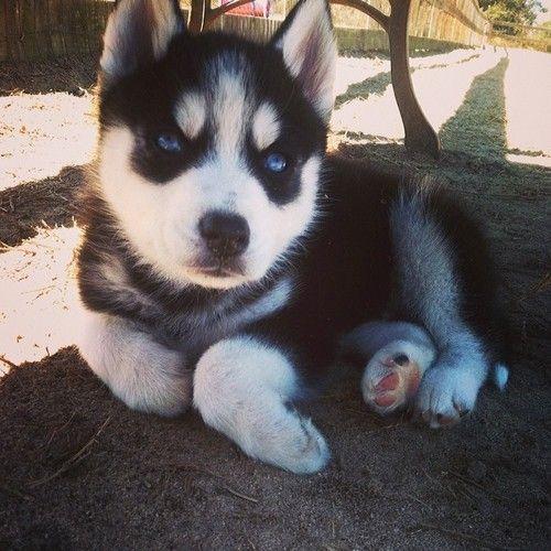"Tumblr- 6-1/2 week Siberian Husky, 'Wolf'.  ""He's a real lady's man."""