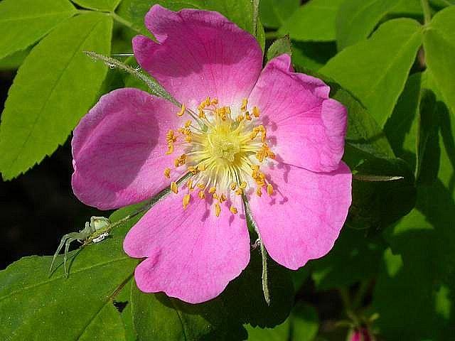 Wild Rose Sitka Alaska Wild Roses Alaska Vacation