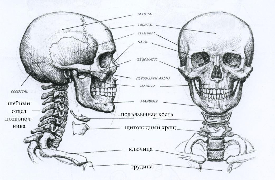 строение человеческого черепа с картинками семья