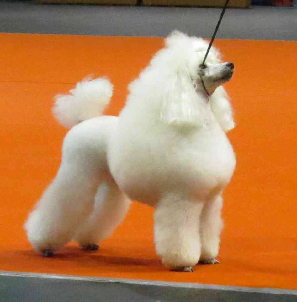 #VetsNorthSomerset White Standard Poodle