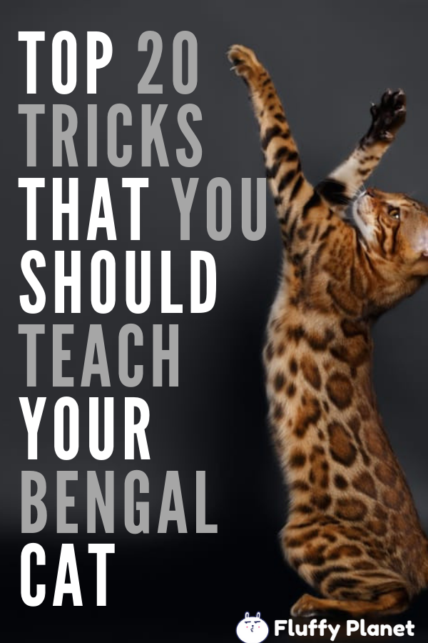 Train Your Bengal Cat to do These 20 Awesome Tricks [ 2020