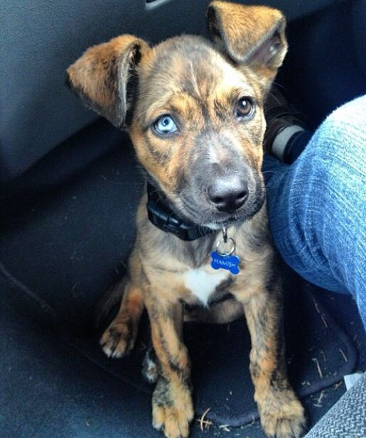 Pit Boxer Australian Shepherd German Shepherd Mix Adorable
