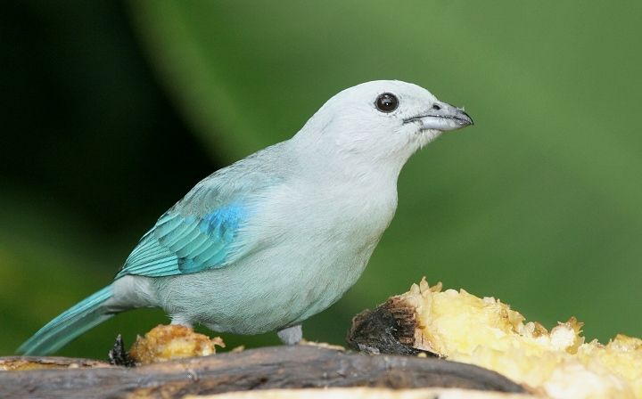 Blue-gray Tanager feeding near the La Paz waterfalls.