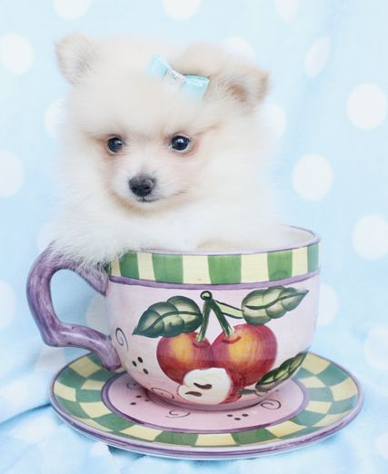 Pomeranian Puppies For Sale In Miami Ft Lauderdale Pomeranian Puppy Teacup Pomeranian Puppy For Sale Teacup Puppies