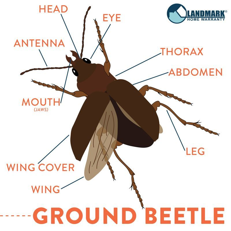 There Are Almost 40 000 Different Species Of Ground Beetles In The World They All Have A Very Similar Body Structure To Wha Pest Control Beetle Insect Control