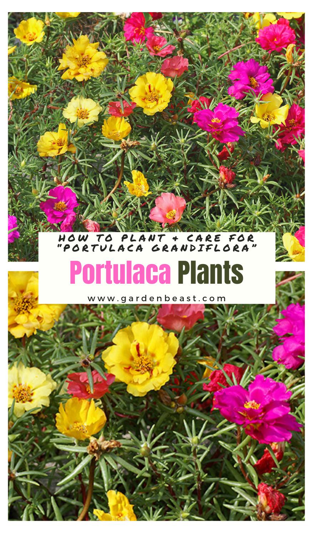 "Guide to Portulaca Plants: How to Plant & Care for ""Portulaca grandiflora"""