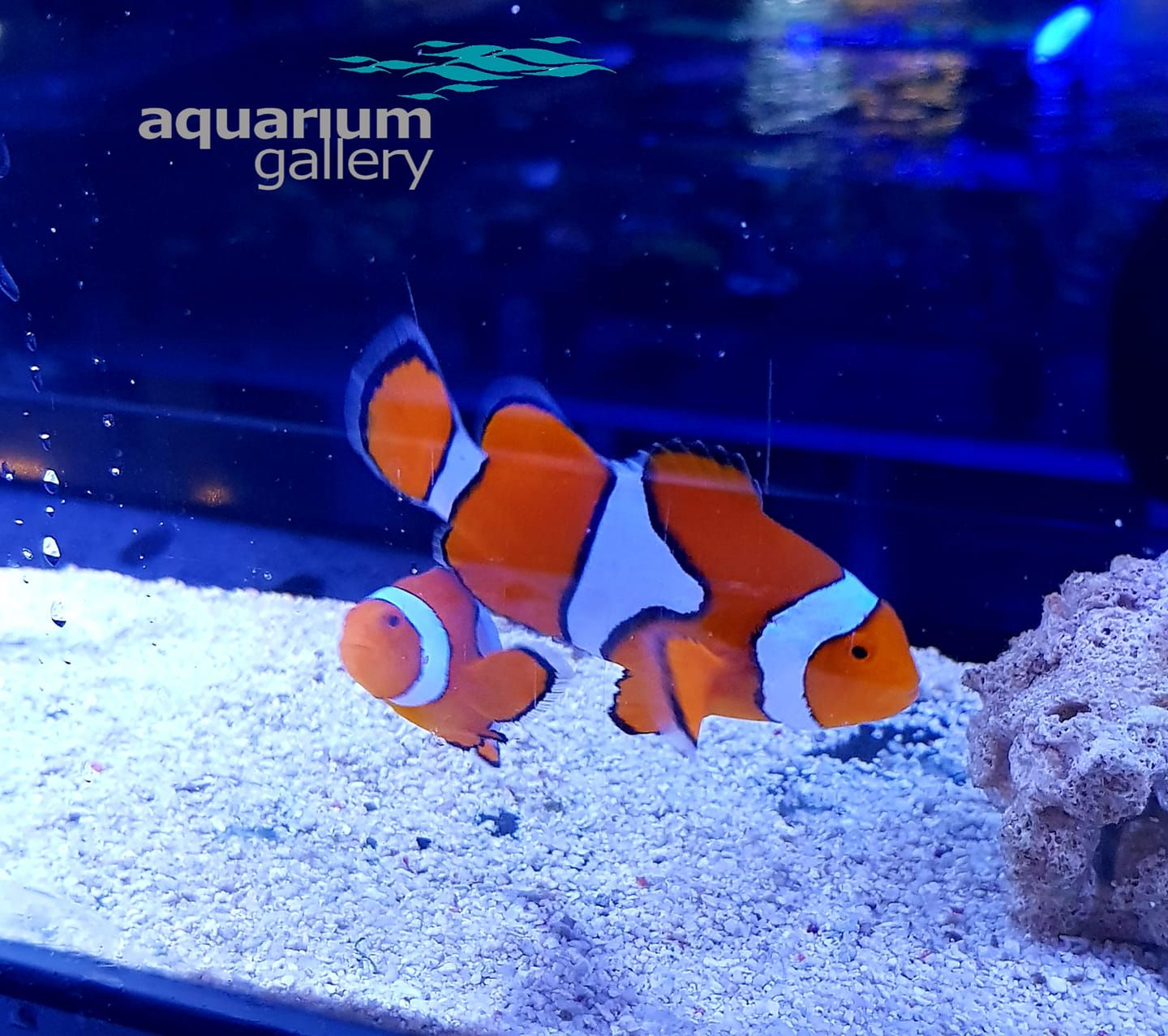 Aquarium Gallery Large Wild Ocellaris Pair One Of The Most Beloved And Popular Marine Fish The Ocellaris Clownfish Goes Marine Fish Clown Fish Pixar Films